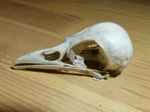 101 16 Un crâne de zoiso