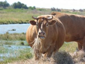 101 81 Une vache