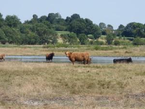 104-2 13 De belles vaches