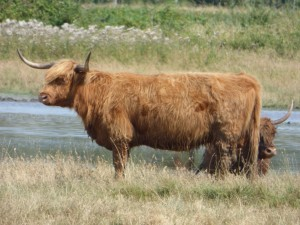 104-2 14 De belles vaches