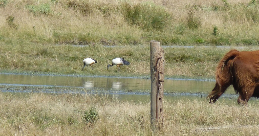 104-2 15 Des ibis sacrés