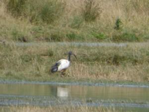 104-2 16 Un ibis sacré
