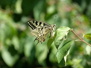 104-2 23 Un papillon machaon