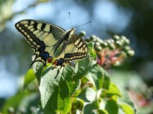 104-2 24 Un papillon machaon