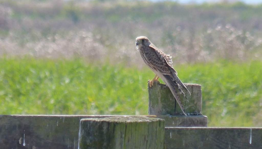 104-2 25 Un faucon crécerelle