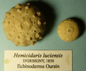 105-2 10 Hemicidaris luciensis