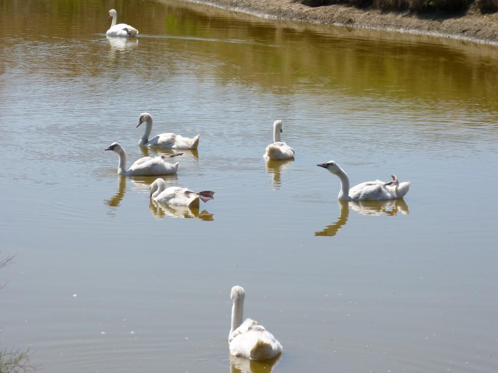 107-1 10 Une famille de cygnes