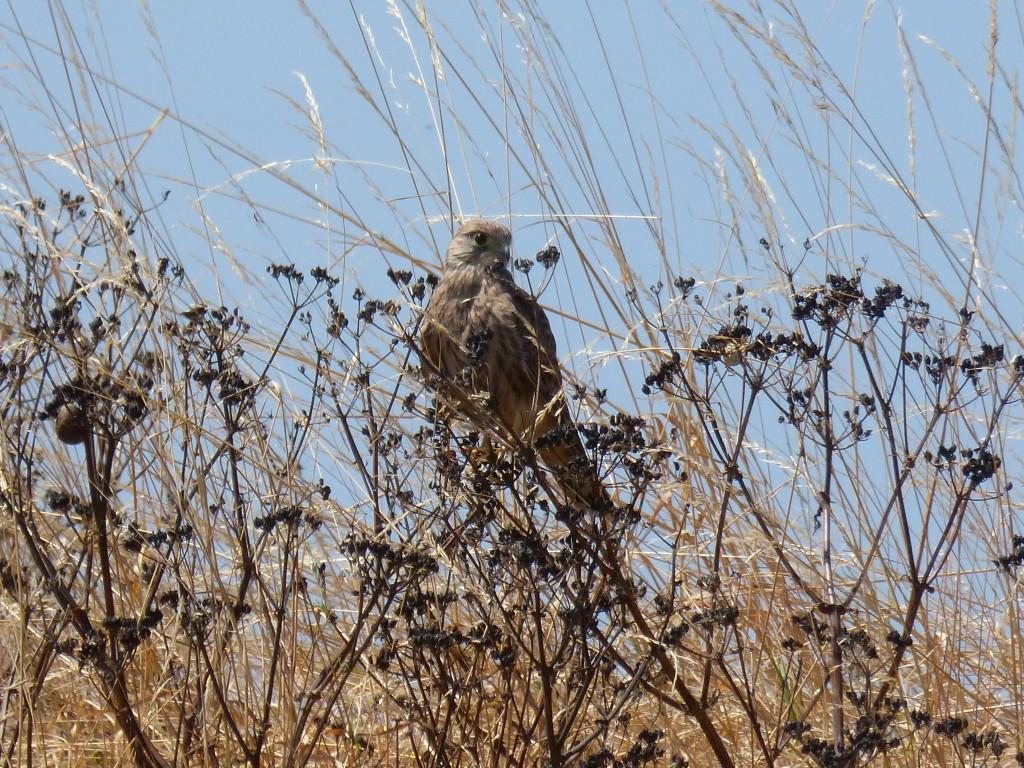 107-1 14 Un faucon crécerelle