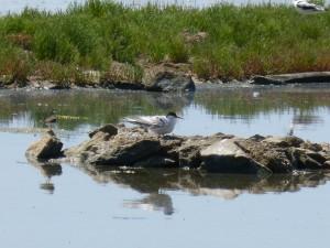 107-1 31 Un nid de sternes pierregarins