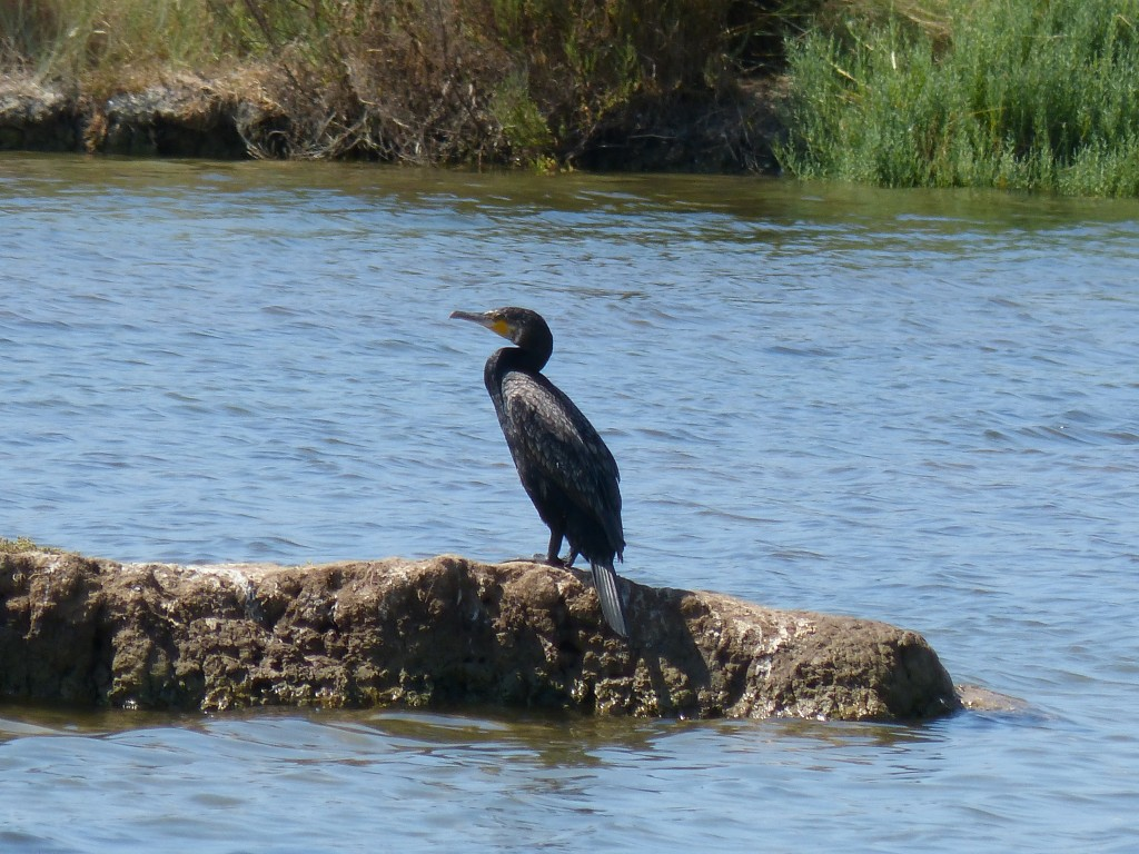 107-1 36 Un grand cormoran