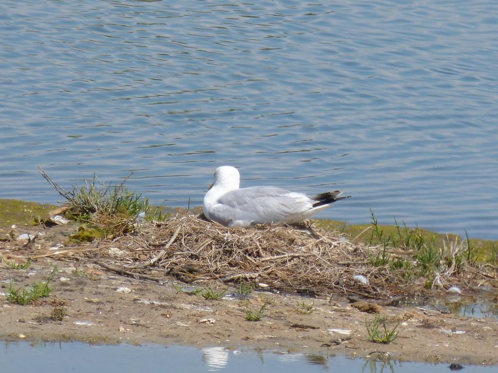 107-1 44 Un goéland dans son nid