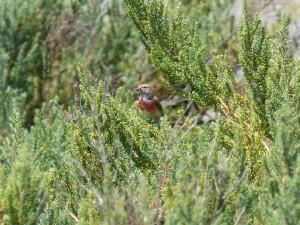 107-1 50 Une linotte mélodieuse mâle