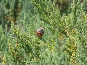 107-1 53 Une linotte mélodieuse mâle