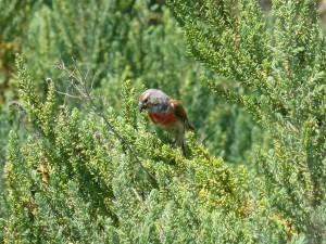 107-1 55 Une linotte mélodieuse mâle