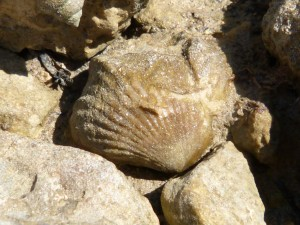 107-2 32 Un brachiopode fossile
