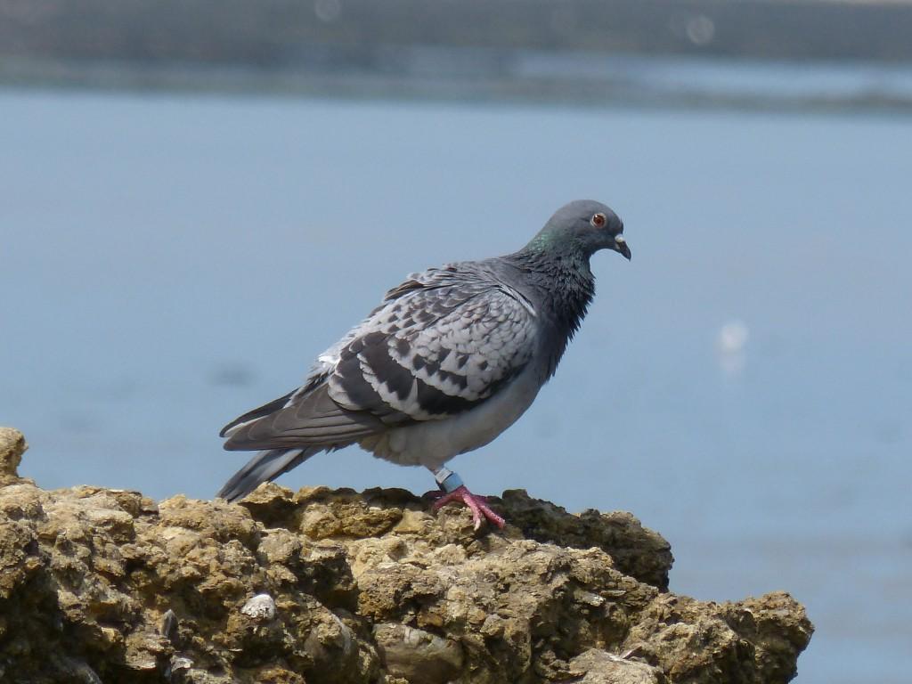 108 03 Pigeon biset