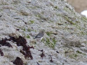 108 18 Une bergeronnette grise