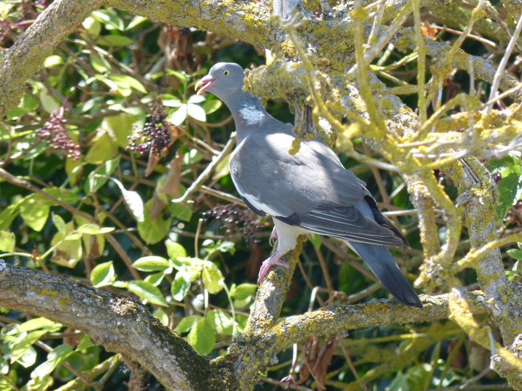 108 48 Un pigeon ramier
