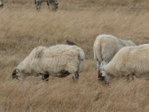 109 33 Une étourneau sur un mouton