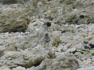 109 52 Une bergeronnette grise