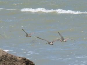 110-1 08 Des courlis en vol