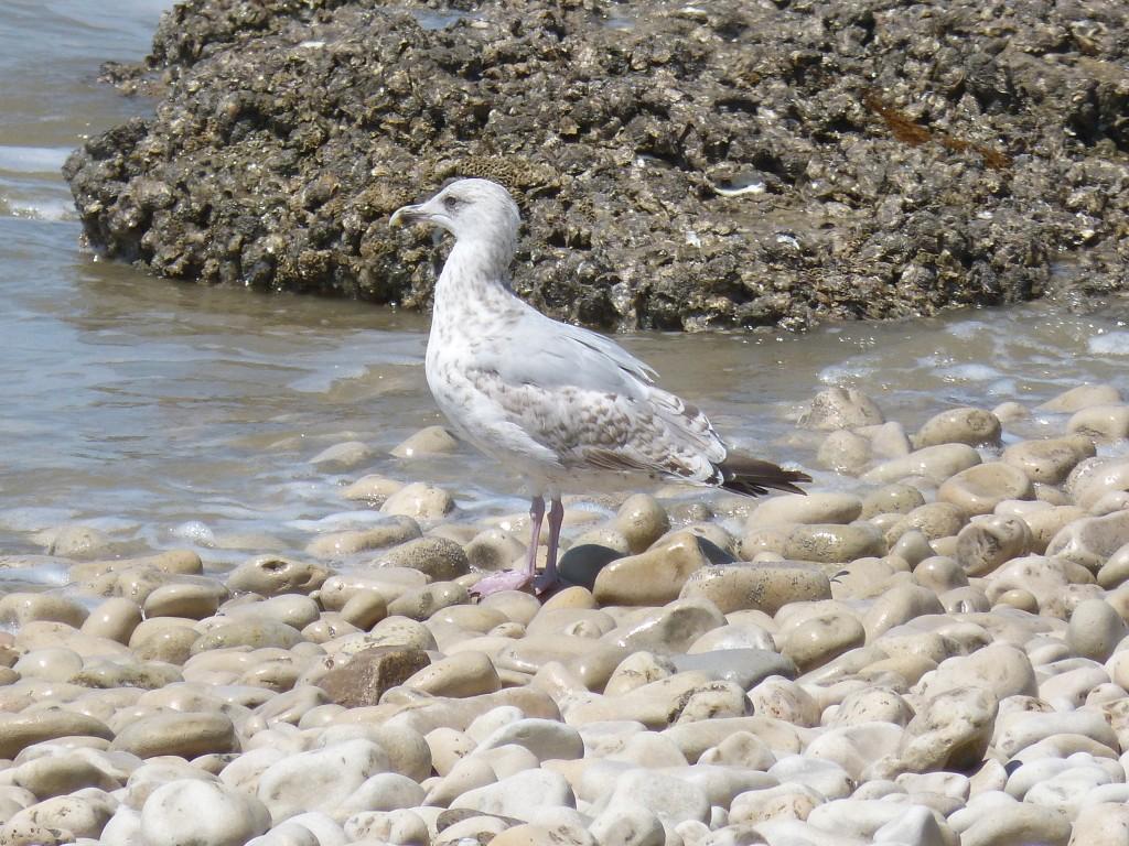 110-1 35 Un jeune goéland argenté