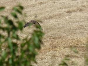 110-2 03 Un busard des roseaux