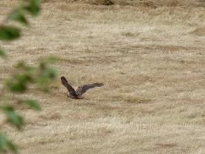 110-2 04 Un busard des roseaux