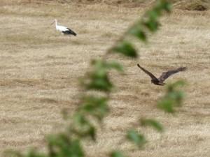 110-2 05 Un busard des roseaux