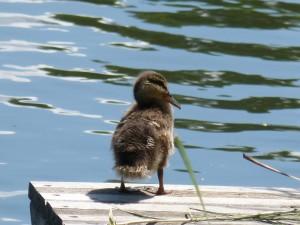 112 06 Une petit canard