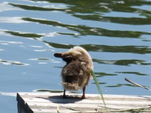 112 07 Un petit canard