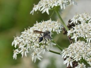 112 70 Une espèce de fourmi à ailes