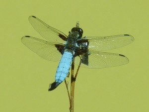 HS2 083 Une libellule déprimée