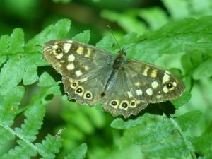 HS2 094 Le papillon